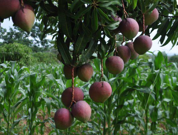 Mangos on tree